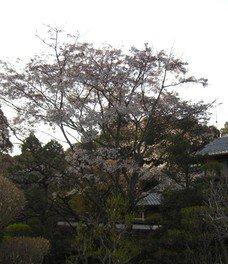 湖東三山西明寺の桜 画像(3/5)