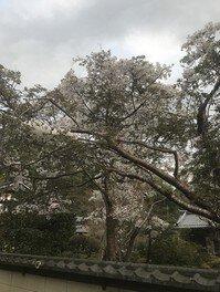 湖東三山西明寺の桜 画像(4/5)