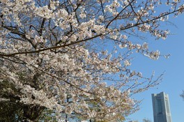 野毛山動物園・野毛山公園の桜 画像(2/3)