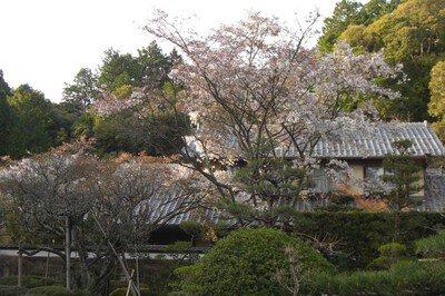 【拝観休止】湖東三山西明寺の桜