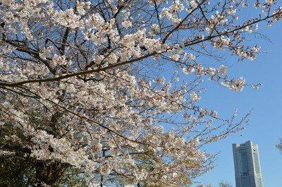 野毛山動物園・野毛山公園の桜