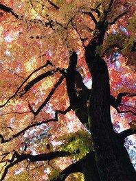 京都府立植物園の紅葉 画像(3/3)