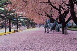 十和田市官庁街通り(駒街道)の桜 画像(3/4)