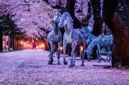 十和田市官庁街通り(駒街道)の桜 画像(4/4)
