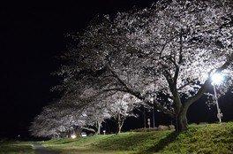 こだま千本桜 画像(4/5)