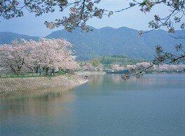 立岡自然公園の桜 画像(2/2)