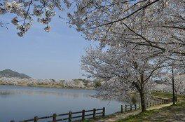 立岡自然公園の桜 画像(3/3)