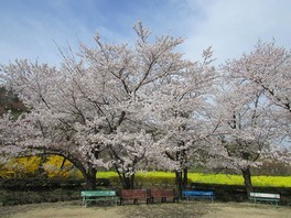 花見山の桜 画像(3/5)