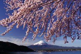 河口湖畔(北岸)の桜 画像(2/4)