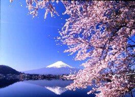 河口湖畔(北岸)の桜 画像(3/4)
