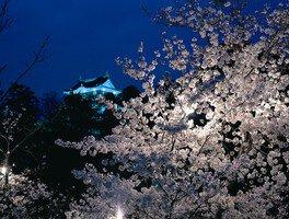 岡崎公園の桜 画像(4/5)