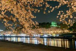 岡崎公園の桜 画像(5/5)