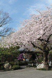 長谷寺の桜 画像(4/4)