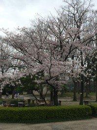 住之江公園の桜 画像(3/5)