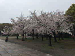 住之江公園の桜 画像(4/5)