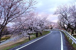 木曽川堤の桜 画像(4/5)