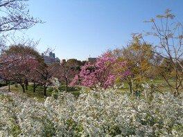 遊歩道ではユキヤナギとソメイヨシノの共演が見られる