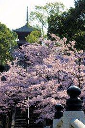 三重の塔と桜がたたずむ