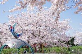 愛宕公園の桜 画像(2/4)