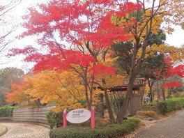 神奈川県立相模原公園 メタセコイア並木の紅葉 画像(2/2)