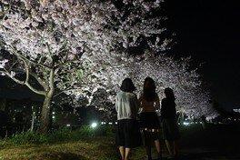 城山公園の桜(栃木県小山市) 画像(2/2)