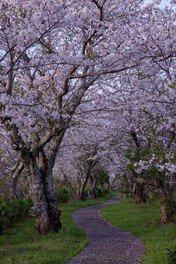 鮎乃瀬公園の桜 画像(2/4)