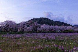 鮎乃瀬公園の桜 画像(3/4)