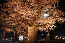 三戸城跡・城山公園の桜 画像(2/3)