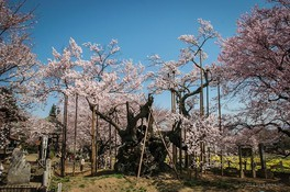山高神代桜の桜 画像(2/2)