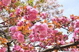 ソメイヨシノが見頃を終えると八重桜が咲き始める