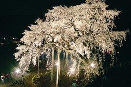 奥山田のしだれ桜の桜 画像(2/4)