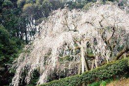 奥山田のしだれ桜の桜 画像(3/4)