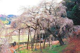 奥山田のしだれ桜の桜 画像(4/4)