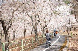 八千代湖周辺の桜 画像(2/2)