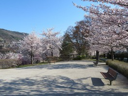 長野市城山公園の桜 画像(2/3)