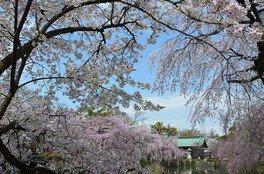三嶋大社の桜 画像(3/3)