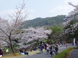 ひろしま遊学の森 広島県緑化センター さくら通りの桜 画像(2/5)
