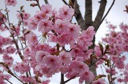 ひろしま遊学の森 広島県緑化センター さくら通りの桜 画像(4/5)