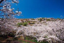 花立公園の桜 画像(2/2)
