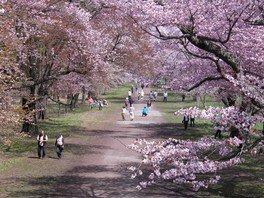 二十間道路桜並木の桜 画像(2/2)