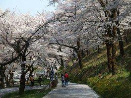 県立津久井湖城山公園の桜 画像(2/2)