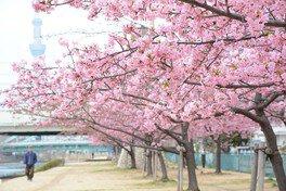 旧中川の桜 画像(2/2)