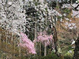 常照寺の桜 画像(2/2)