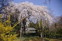 清水公園の桜 画像(2/2)