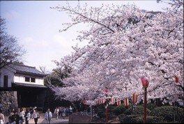 和歌山城の桜 画像(3/5)