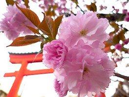 大宮八幡宮の桜 画像(3/5)
