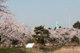 いちょう公園の桜 画像(2/2)
