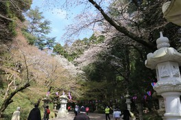 香取神宮の桜(画像2/3)