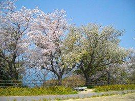 老の山公園の桜 画像(2/2)