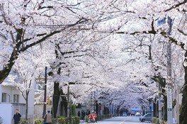 中央通りの桜 画像(2/5)